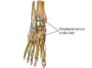 peripheral nerves in the foot